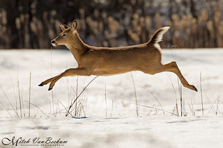 White-tailed Deer (In Flight!)
