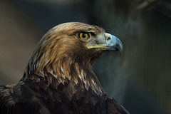 Golden eagle (Takashi(aes256)) Tags: bird zoo tokyo eagle tama 日本 東京 goldeneagle 動物園 鳥 鳥類 東京都 多摩動物公園 tamazoo ワシ 多摩 nikond4 日野市 イヌワシ kenkomirrorlens800mmf8dx