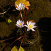 Tiny Water Lilly Flowers