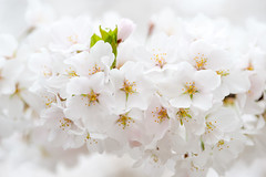 Washington DC Cherry Blossoms (cherryblossomwatch) Tags: flowers plants flower tree cherry washingtondc bloom cherryblossom flowering sakura cherryblossoms deciduous cherrytree tidalbasin fruittrees prunusyedoensis yoshinocherrytree yoshinocherryblossom cerasusyedoensis