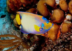 Queen Angelfish (gillybooze) Tags: fish coral scuba caribbean bonaire allrightsreserved madaleundewaterimages