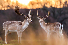 To stand..... Together.... (lsimons58) Tags: deers wildlife wild deer fallon bradgate sunrise countryside orange nature animals animal stags morning light bokeh serene peaceful calm beautiful landscape majestic poise natural antlars