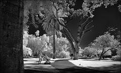 F_DSC7421-BW-IR Photography-Nikon D90-Nikkor 16-85mm-May Lee 廖藹淳 (May-margy) Tags: maymargy bw 黑白 紅外線攝影 人像 小鳥 大樹 午後 高等法院 公園 伯斯市 澳洲 街拍 streetviewphotography 線條造型與光影 linesformandlightandshadows fdsc7421bw irphotography superemecourtgardens portrait tree lawn bird perthcity westernaustralia australia nikond90 nikkor1685mm maylee廖藹淳