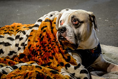 Spotted Dog (makizekai16) Tags: dog pet animals animale animaledomestico spotted color street birmingham