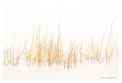 Reed at the Oostvaardersplassen (Sandy Spaenhoven) Tags: reed oostvaardersplassen flevoland nature art creative plant abstract
