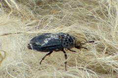 Carrion Beetle Thanatophilus rugosus (gailhampshire) Tags: carrion beetle thanatophilus rugosus taxonomy:binomial=thanatophilusrugosus
