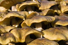 Mushrooms - Fungi (Chris Glover - Computer Problems (Nearly fixed)) Tags: mushrooms mushroom fungi attingham park shropshire shrewsbury nt national trust gill underside cobweb cob web spider