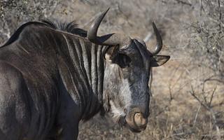 A Wildebeest Portrait