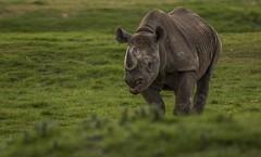 Rhino -9 (tiger3663) Tags: black rhino hodari yorkshire wildlife park