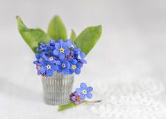forget me not (Emma Varley) Tags: still life indoor flowers spring forgetmenot pretty blue yellow white mothersday thimble miniature tiny arrangement bouquet