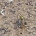 Poecilobothrus nobilitatus (Dolichopodidae), ♂, in a puddle