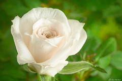 Mini Rose (Ken Mickel) Tags: floral flower flowers minirose plants texture textured textures topaz topazimpression closeup flora nature photography upclose