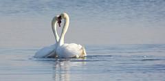 Swans heart (wjpostma) Tags: heart swans zwanen hart