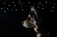 out of the darkness 8/52 (sure2talk) Tags: taivas finnishlapphund nikond7000 nikkor50mmf14gafs flash speedlight sb900 offcamera bounced outofthedarkness we2622017 52weeksfordogs 852 ldl littledoglaughednoiret