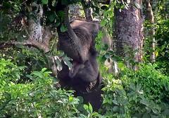 """NEPAL, Royal Chitwan-Nationalpark, Er interessiert sich nicht für mich und frisst ungestört weiter, 15404/8185 (roba66) Tags: elefanten elephants elefantencamp reisen travel explore voyages roba66 visit urlaub nepal asien asia südasien """"royal chitwannationalpark"""" nationalpark landschaft landscape paisaje nature natur naturalezza tier tiere animal animals creature"""