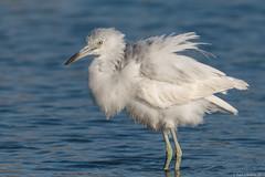 Rubino Little Blue Heron juvenile 20170401 Famosa Slough CA 477 (Ryan Rubino) Tags: little blue heron egretta caerulea molting ruffled calico