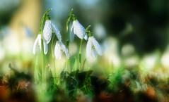 snowdrops (augustynbatko) Tags: snowdrops flowers macro spring nature views garden