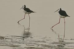 Black Winged Stilts (Rodger1943) Tags: waterbirds stilts australianbirds fz1000 blackwingedstilts faunainmotion