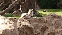 Sibrian white tiger (Uktransportvideos82) Tags: tiger sibrian white albino loropark