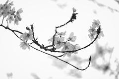 norland cruz photography: wind-blown cherry blossoms in union square (norlandcruz74) Tags: unionsquarepark unionsquare branches branch blankandwhite norland cruz pinoy filipino filam new nyc ny york city us usa america cherry blossoms flora nikon dx d5100 spring springtime april 2017