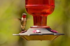 Ruby-throated Hummingbird (deanrr) Tags: rubythroatedhummingbird hummingbird feeder hummingbirdfeeder bokeh greenbokeh red nature outdoor bird morgancountyalabama alabama