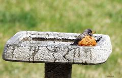 MY birdbath! (Gillian Floyd Photography) Tags: american robin bird bath