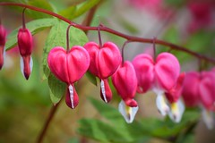 💔  Bleeding hearts... 💔 (Maria Godfrida) Tags: nature flora flowers flower pink bleedinghearts hearts bleeding branch outside outdoor colourful colorful love pain