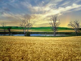 Grain field 3