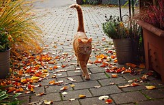 autumn morning stroll (Ralaphotography) Tags: morning stroll red cat ginger marmelade autumn fall leaves october orange