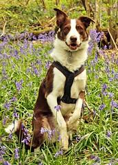 15/52 Easter Bunny? (meg price) Tags: 52weeksfordogs flynn bordercollie dog nature spring bluebells woodland uk