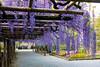 DSC_1695 (sayo-tsu) Tags: 藤 wisteria 牛島のフジ 春日部市 埼玉県 kasukabe saitama 特別天然記念物