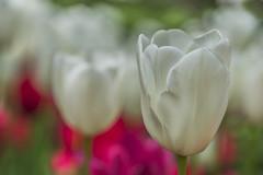 Tulipmanía 🌷 (Julieta Portel) Tags: tulip botanicgarden white green macro flower