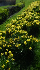Sneak Peek Because of Easter: Bunches of Daffys!! (catchesthelight) Tags: eastsussexengland yellow daffodils spring flowers scenic landscape uktravel bliss