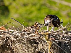 Breakfast time (Ed Rosack) Tags: usa osprey 25hawkskiteseaglesandallies bird bluecypresslake centralflorida young ©edrosack florida immature juvenile ospr pandionhaliaetus verobeach