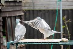 21 April 2017 (16) (AJ Yakstrangler) Tags: yakstrangler pigeon pigeons