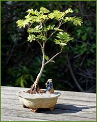 Eberesche (sinepo) Tags: bonsai topf baum schale wachsen klein sonne frühling eberesche blätter