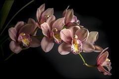 Orchid (Cymbidium Rincon Fairy) (Darwinsgift) Tags: orchid flower cymbidium rincon fairy nikkor pce 45mm f28 micro nikon d810
