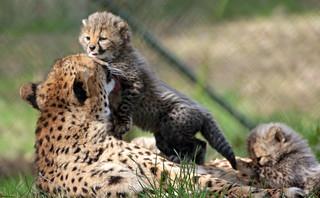 cheetah Beekse Bergen BB2A6840