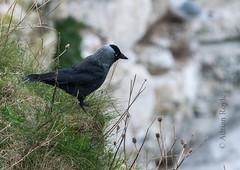 DSC_3876 (Adrian Royle) Tags: yorkshire flamborough bemptoncliffsrspb rspb nature wildlife bird jackdaw corvid cliff coast nikon