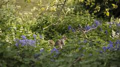 Squirrel in St James's Park (Diego Innocenti) Tags: london londra uk england inghilterra city città beautiful color colors landscape squirrel scoiattolo nature animal animals flower flowers stjames james park londonpark