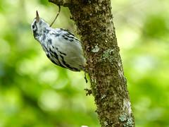 Black-and-white Warbler (Mniotilta varia) (WRFred) Tags: florida bird nature wildlife warbler