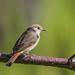 Female Redstart (gloverdave33) Tags: