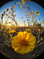 Fisheye Close-up, iPhone 6S+ (Jeffrey Sullivan) Tags: states landscape photography workshop death valley national park deathvalley nationalpark california usa nature travel apple iphone 6s iphone6s iphoneography mobile phone camera roadtrip photo copyright 2016 jeff sullivan blogger allrightsreserved march olloclip fisheye desertsunflower gereacanescens