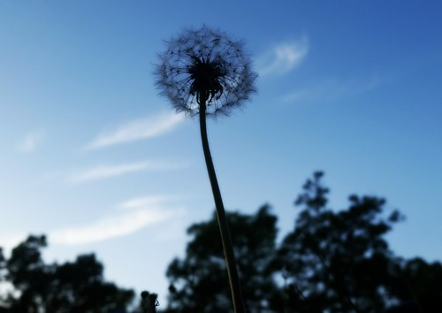 Wishing (Cheyenne Cross) Tags: wishing makeawish dandelion fuzz d