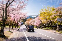sakura '17 - cherry blossoms #8 (Sakamoto, Shiga) (Marser) Tags: xt10 fuji raw lightroom japan shiga sakamoto flower tree road cherry sakura car shower 滋賀 坂本 桜 桜吹雪
