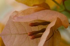 Flowers. Bloemen. 020. Bougainvillae. (George Ino) Tags: copyright georgeino georgeinohotmailcom thenetherlandshollandnederland utrecht bougainvillea macro makro flowers bloemen petals bloemkelk oranje orange oranges dofbokeh depthoffield plant