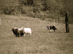 P4230563 (zullo_stefano) Tags: dog pet farm sheep sheepdog herding workingdog shepperd italy nature green fiield olympus e5 zuiko training border bordercollie