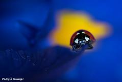 Composer avec la nature (L'Usine à Souvenirs) Tags: coccinelle ladybug ladybird insecte macro couleurs jaune bleu