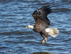 Bald Eagle (BirdFancier01) Tags: river nature raptor eagle iowa leclaire lockanddam14 wildlife