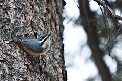 Red-breasted Nuthatch (Ron Hodgson Wildlife Photography) Tags: fcp nuthatch redbreasted